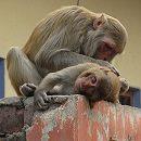 Про царя обезьян